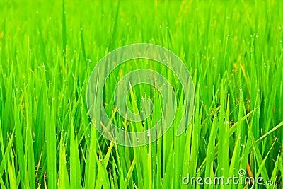 Close up rice fields