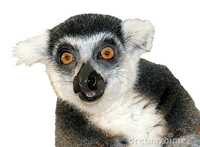 Close-up of ring-tailed lemur looking at camera is