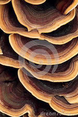 Close up of ringed polypore fungus
