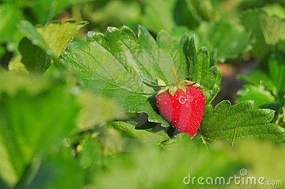 Close up ripe strawberry in the field