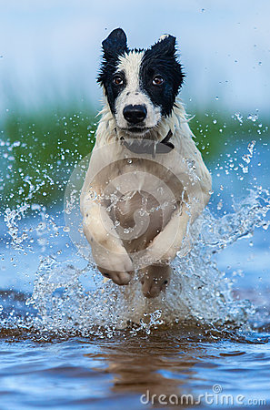 Free Close Up Running Puppy Of Mongrel Over Water. Royalty Free Stock Images - 75819329