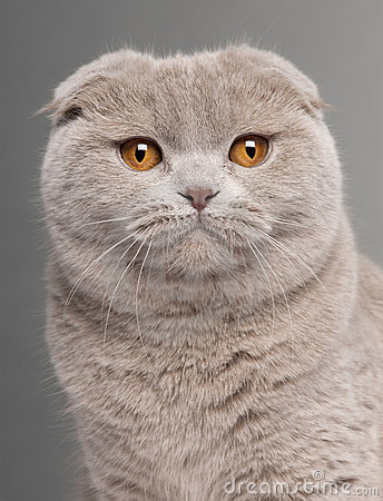 Close-up of Scottish Fold cat