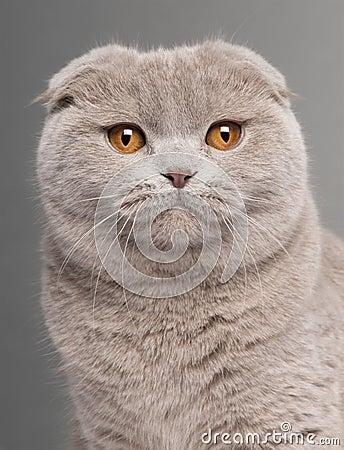Close-up of Scottish Fold cat