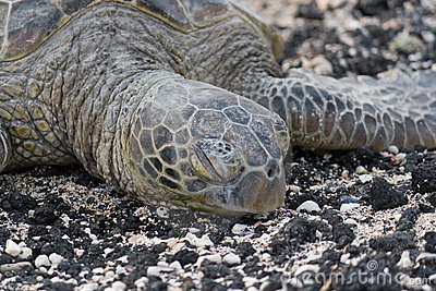 Close-up of sea turtle on the rocky beach. Hawaii.