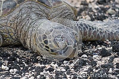 Close-up of sea turtle on the rocky beach. Hawaii.