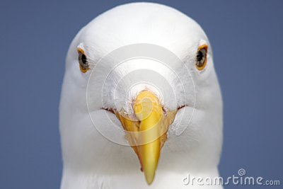 Close up Seagull