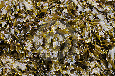 Close-up of Seaweed