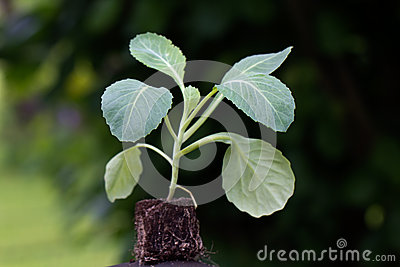 Close up , Seedling,cabbage plant