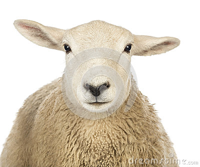 Close-up of a Sheep s head