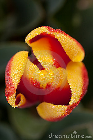Close up shot of red yellow tulip