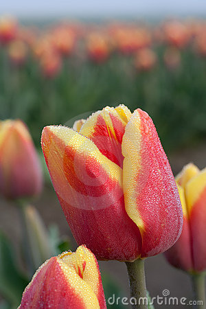 Close up shot of red yellow tulip 2