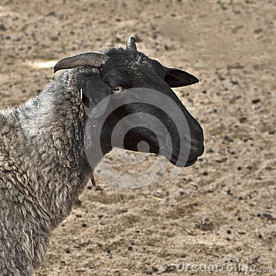 Close-up shot of a sheep