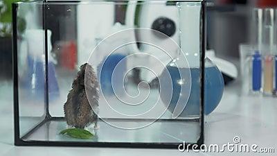CLose-up shot of small hamster under försöket i kemi-laboratoriet arkivfilmer