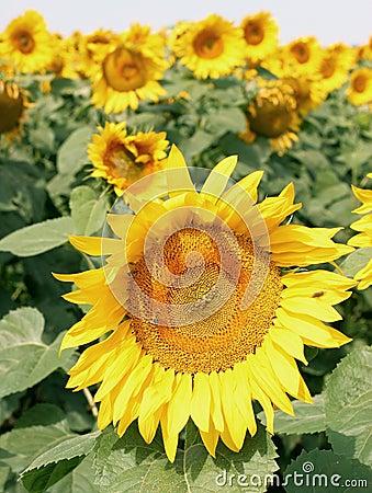 Close up shot of sunflower.