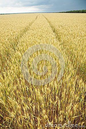 Close up shot of wheat stalk