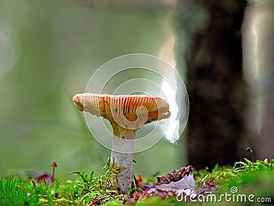 Shrimp mushroom
