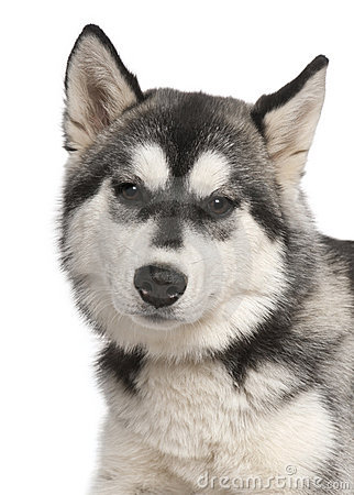 Close-up of Siberian husky, 6 months old