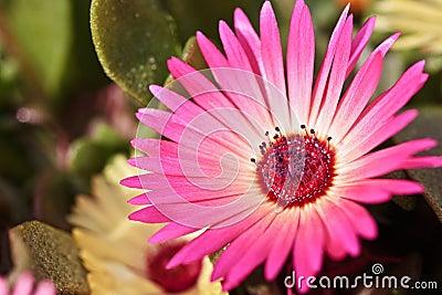 Close-up of a single beautiful daisy flower