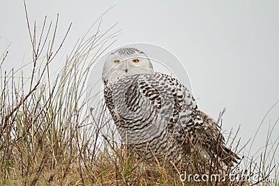 Close-up Snowy owl
