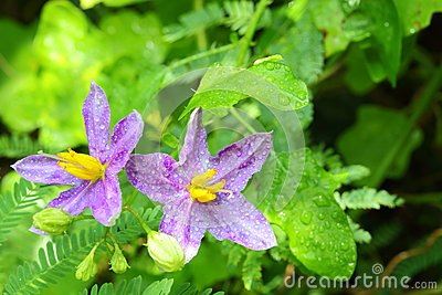 The close up of  Solanum indicum  L. flower,