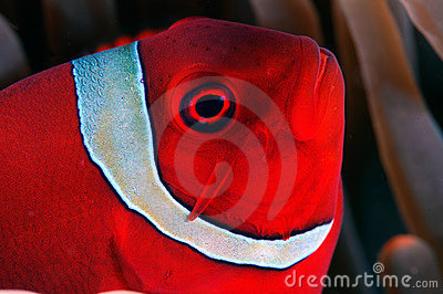 Close-up of a Spinecheek anemonefish