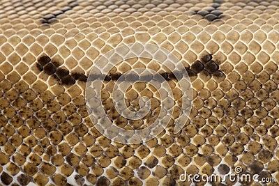 Close-up of Spinner Python, Royal python skin