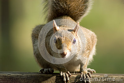 Close up of Squirrel staring at eye level