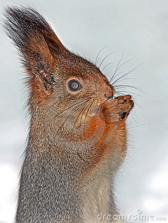 Close-up of squirrel on the snow