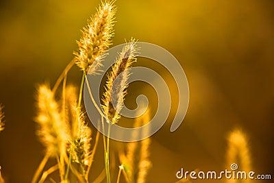 Close-up stem of wheat