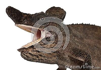 Close-up of Strange-nosed Chameleon