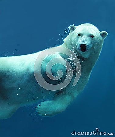 Close-up subaquático do urso polar