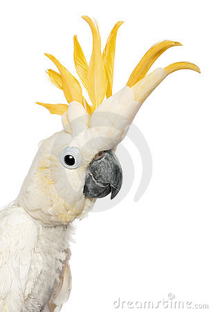 Close-up of Sulphur-crested Cockatoo