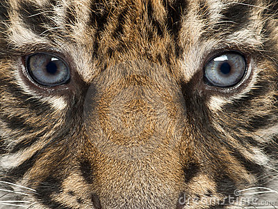 Close-up of Sumatran Tiger cub, Panthera tigris