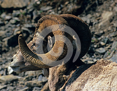 Close-up sunlit bighorn ram profile