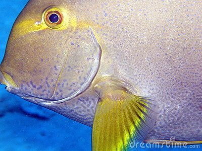 Close up of surgeon fish or tang Seychelles