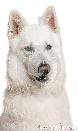 Close-up of Swiss Shepherd dog, 3 years