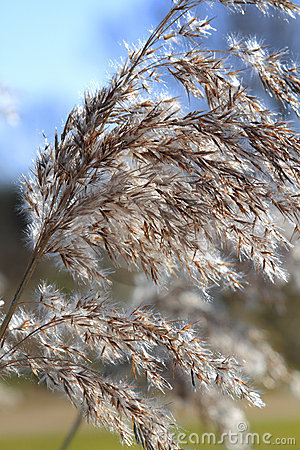 Close up of tall winter feathery grass