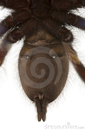 Close-up of Tarantula spider