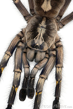 Close-up of Tarantula spider, Poecilotheria