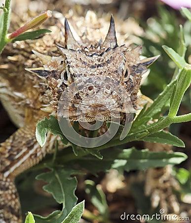 A Close Up of a Texas Horned Lizard