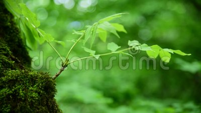 Close-up of thick green moss in the forest on a thick tree trunk. Saturated green. Low key.  stock video