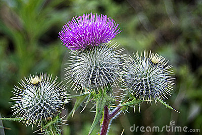 Close up of thistles