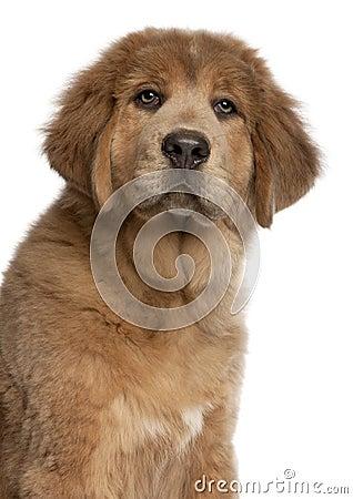 Close-up of Tibetan Mastiff puppy