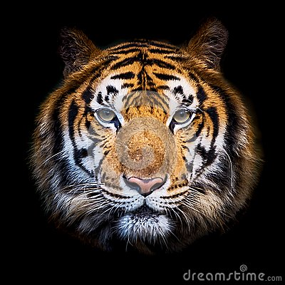 Free Close Up Tiger. Royalty Free Stock Images - 101329059