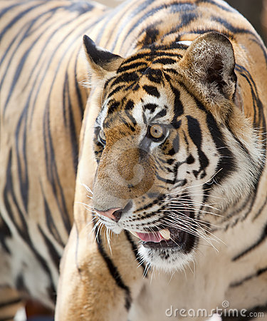Close up of a tiger s face