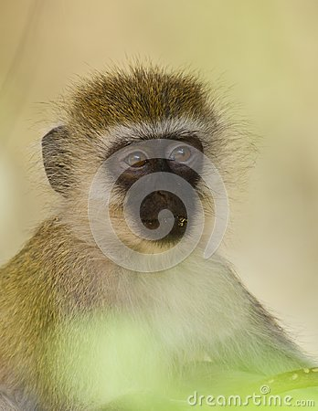 Close-up to the eyes of a vervet monkey