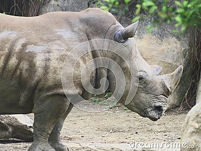 Close up to Rhino