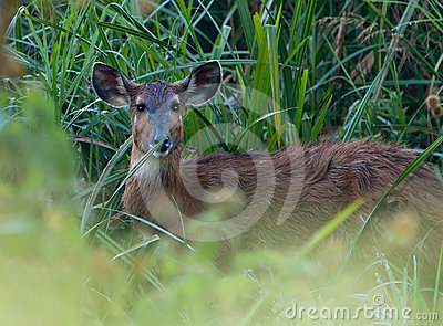 Close-up to the Sitatunga