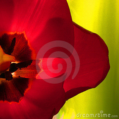 Close-Up Tulip
