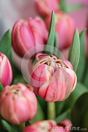 Free Close-up Tulips. Multi Color Pink Flower Bud With Many Petals. Floral Background Photo. Lovely Flowers In Glass Vase Royalty Free Stock Photo - 117024655